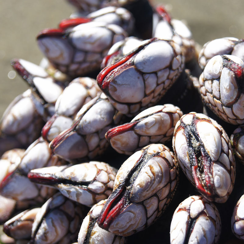 Cluster of mussles