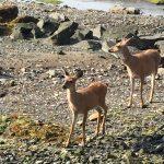 2 deer on rocky beach Vancouver Island