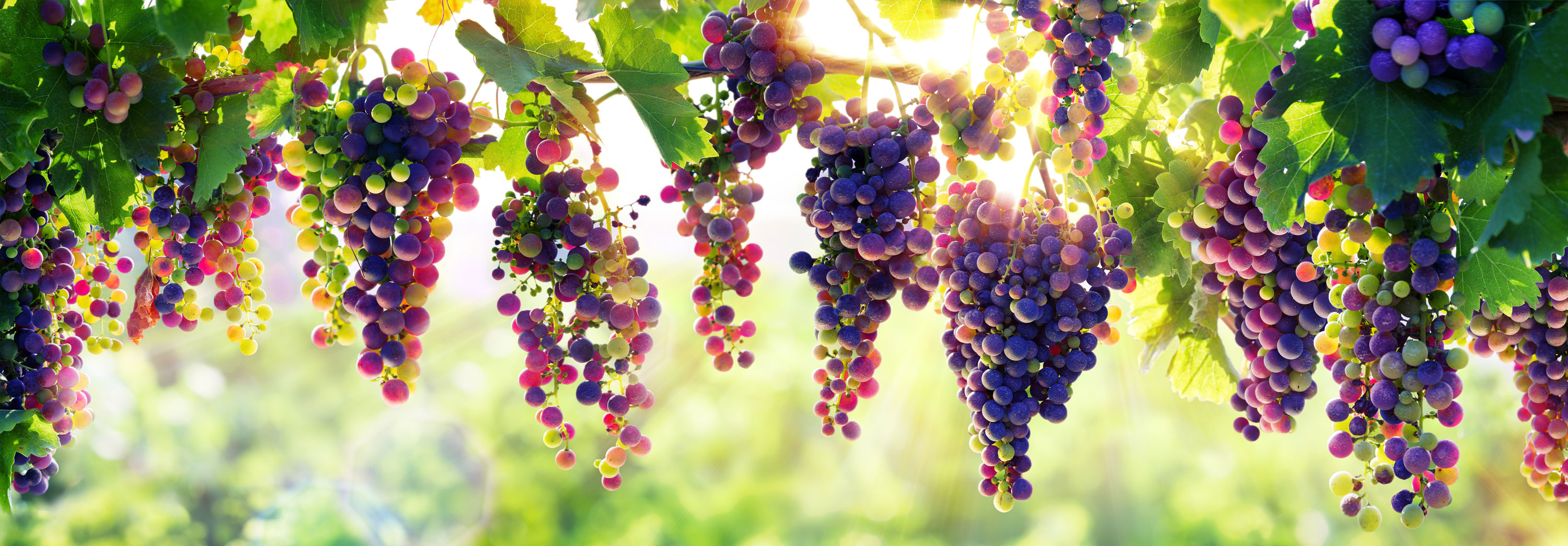 Purple grapes hanging from vines with sun peeking through