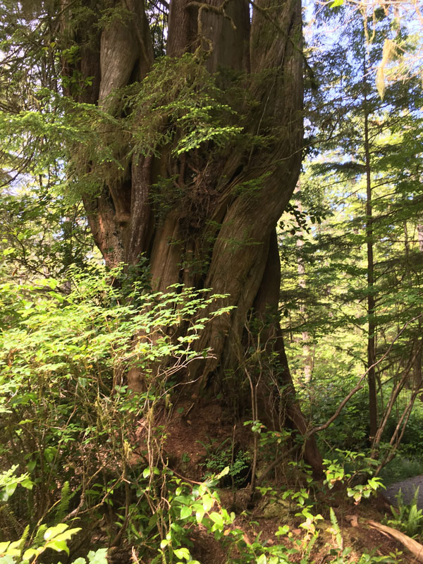 Massive tree in Vancouver Island rainforest