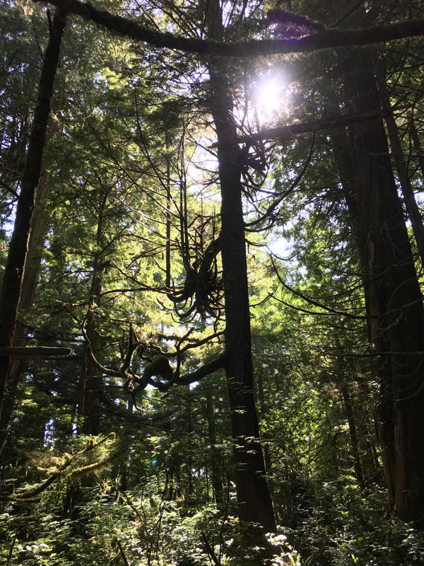 Sun shining through thick forest trees south vancouver island